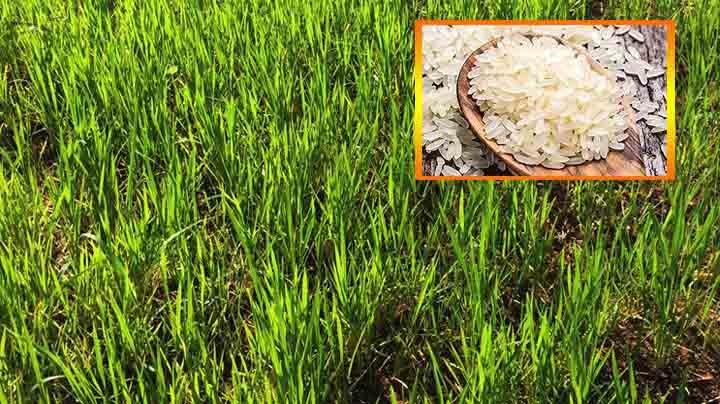 Pirinç Suruçlu çiftçiyi sevindirdi Urfa Haber