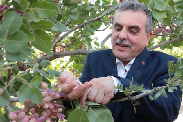 """Urfa Fıstığı """" Keten Köyneği"""" Hasadı başladı Urfa Haber"""