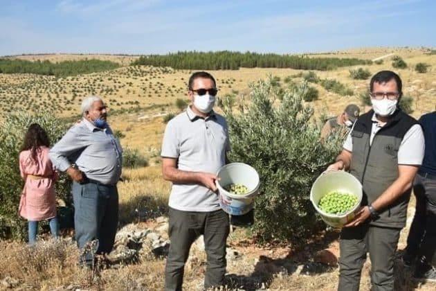 Şanlıurfa'da Zeytin Hasatı Başladı  Urfa Gündemi