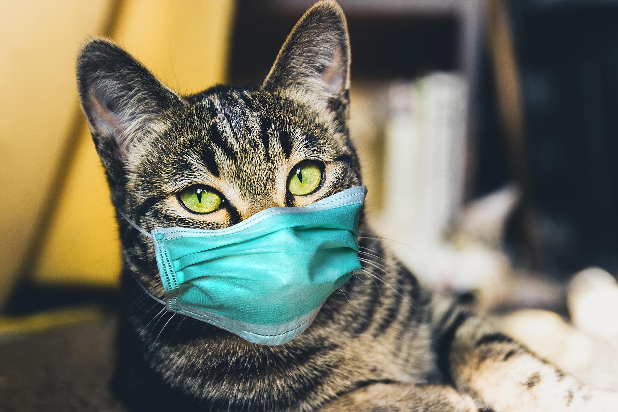 Kediden Sahibine COVID-19 Bulaştı! Haberler